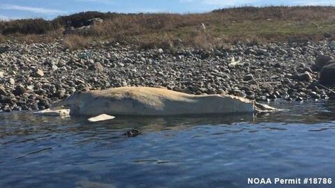 La baleine noire a été trouvée échouée sur une plage de Cape Cod.