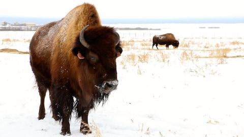 En avant-plan, un bison regarde vers l'objectif alors qu'en arrière-plan un autre broute de l'herbe. Ils se trouvent tous les deux dans un champ enneigé.
