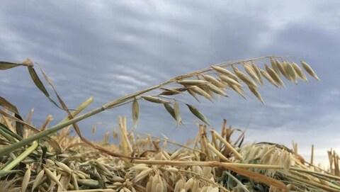 Du blé
