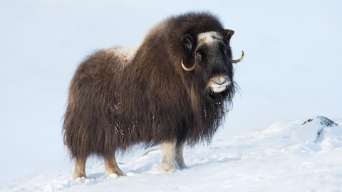 Un bœuf musqué dans la neige