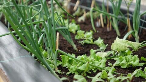 Des oignons verts et de la laitue dans une boîte à jardinage