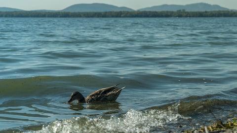Un canard nage au bord de l'eau.