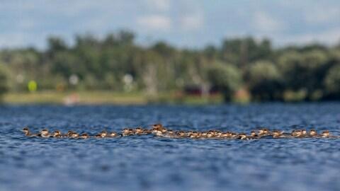 Un canard entouré de nombreux canetons sur un lac