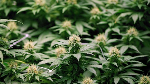 Des plants de cannabis