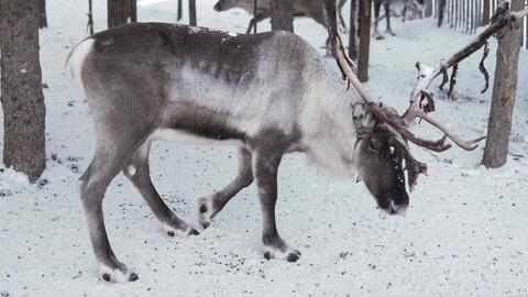 Il s'alimente de pousses au travers de la neige.