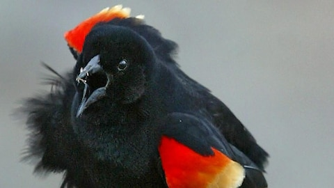 Un oiseau noir aux ailes rouges et jaunes avec le bec ouvert
