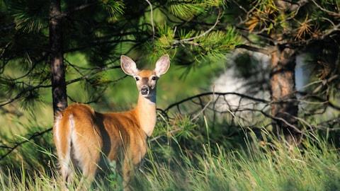 Un cerf de Virginie en bordure d'une forêt.