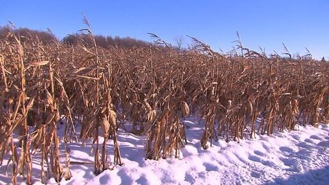 Des plants de maïs séchés dans la neige.
