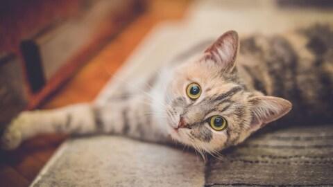 Un chat se prélasse sur un tapis.