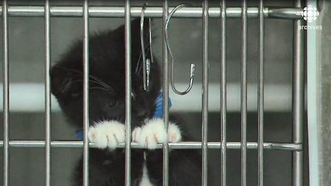 Chaton qui s'agrippe aux barreaux de sa cage à la SPCA de Montréal.