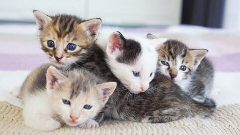 Quatre jeunes chatons tachetés se serrent sur une couverture.