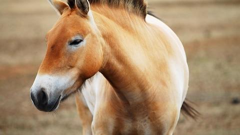 Un cheval de Przewalski