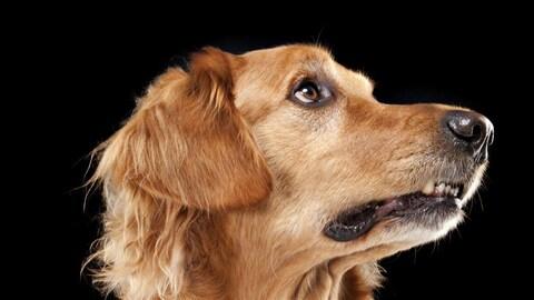 Gros plan sur la tête d'un chien golden retreiver.