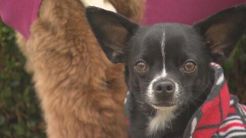 Un petit chien noir avec un manteau regardant à la caméra.
