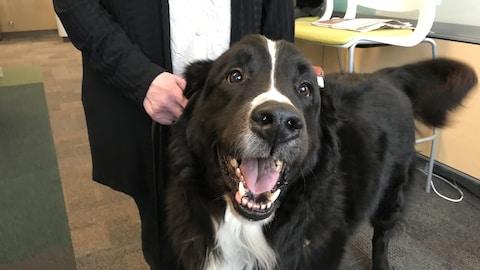 Une dame tient son chien de type St-Pierre. L'animal a une fourrure noire avec une rayure blanche.