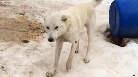 Un chien de traîneau blanc qui boite