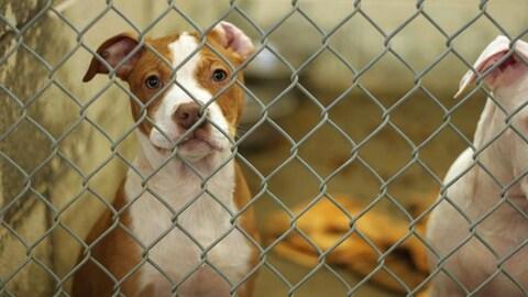 Des chiens en cage.
