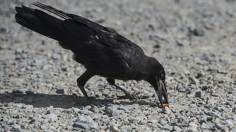 A crow picks up a cigarette end on the parking of Le Puy du Fou, in Les Epesses, western France on August 14, 2018. - Six crows specially trained to pick up cigarette ends and rubbish were put to work last week at a French historical theme park. (Photo by SEBASTIEN SALOM GOMIS / AFP)        (Photo credit should read SEBASTIEN SALOM GOMIS/AFP/Getty Images)