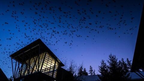 Des corneilles survolent le campus de l'Université de Washington Bothell à la tombée de la nuit.