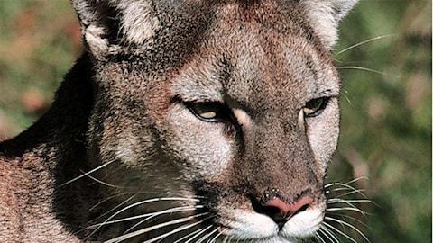 Un gros plan sur la tête d'un cougar.