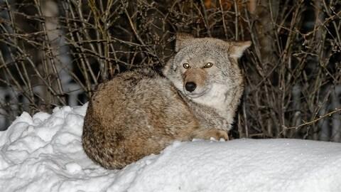 Un coyote rode dans un quartier de Rouyn-Noranda depuis près de 5 ans