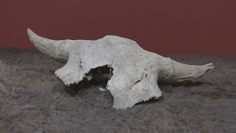 Un crâne de bison posé sur une fourrure.