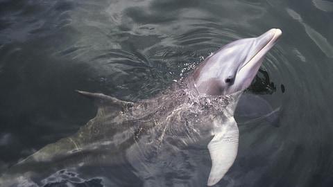 Les chercheurs étudient les dauphins pour comprendre le développement de la conscience chez les animaux.