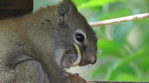 Vue sur un écureuil avec une dent longue et courbée sortant de sa bouche.