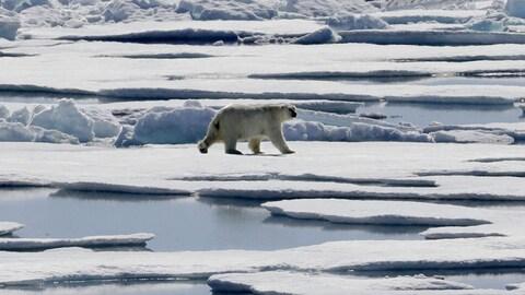 Un ours polaire se déplaçant sur la banquise, dans le Nord canadien.
