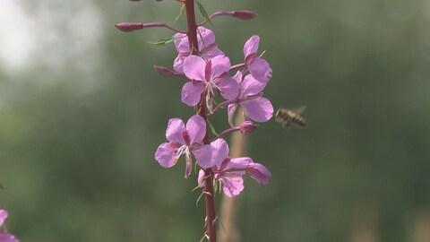 Une abeille pollinise un épilobe.