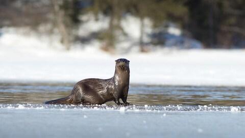 Une femme loutre regarde la caméra, sur un lac à moitié glacé.