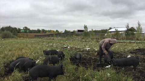 Un homme avec un chandail à capuche est penché au-dessus d'un porc au pelage noir dans un champ. D'autres porcs sont à côté de lui. En arrière-plan, on aperçoit des bâtiments de la ferme.