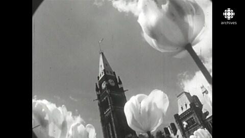 Tulipes en contre-plongée sur le parterre du Parlement d'Ottawa.
