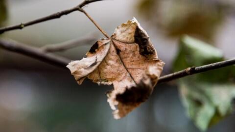 Une feuille séchée s'accroche à une branche.