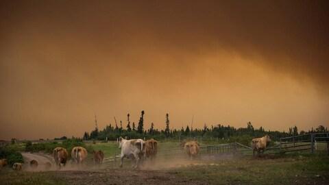 Des vaches courent dans un pré près d'un boisé sous un épais panache de fumée.