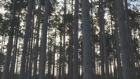 Une forêt au crépuscule