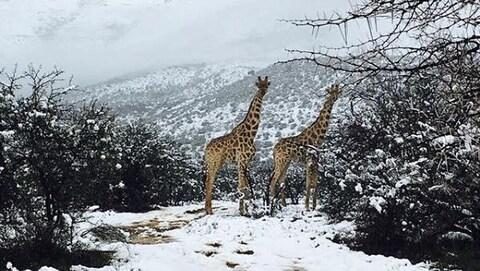 Deux girafes se tiennent debout dans un paysage de nature enneigée.
