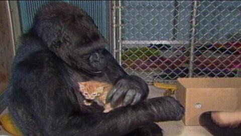 Le gorille Koko, qui pouvait s'exprimer avec le langage des signes, est mort dans son sommeil.