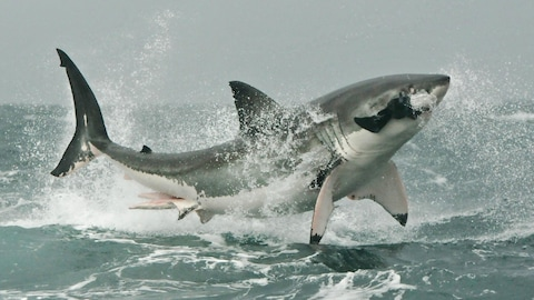 Un grand requin blanc chasse un phoque.