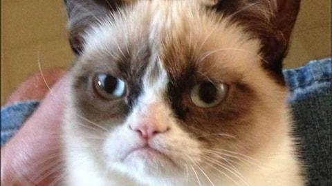 Gros plan sur le faciès renfrogné de Grumpy Cat.