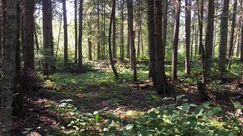 La forêt boréale près de Hearst, en Ontario.