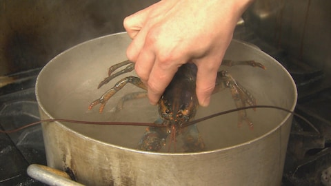 Un homard vivant bientôt dans une casserole d'eau bouillante