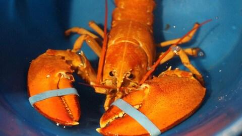 Le homard orangé, élastiques aux pinces, a l'allure d'un homard bouilli, alors qu'il est bel et bien vivant.