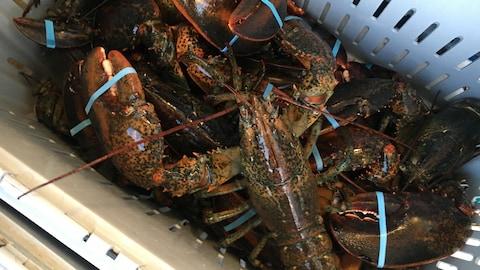 Des homards aux pinces attachées empilés dans un bac.
