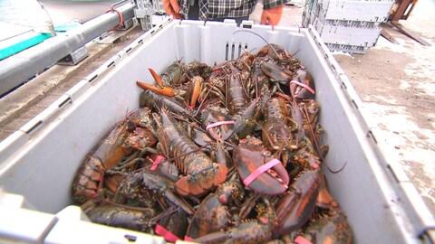 Une caisse pleine de homards vivants