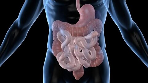 Illustration d'un intestin humain.