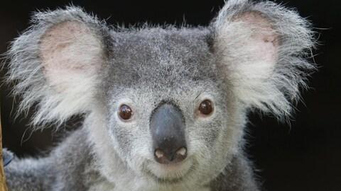 Le génome du koala séquencé