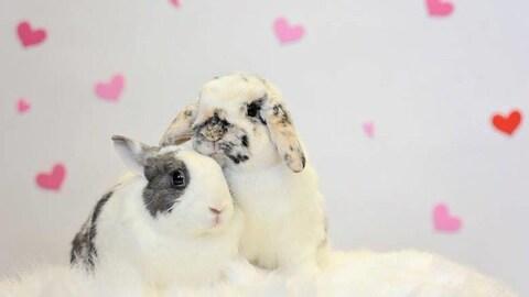 Deux lapins blancs au poil tacheté se reposent devant un mur décoré de petits coeurs rouges et roses.