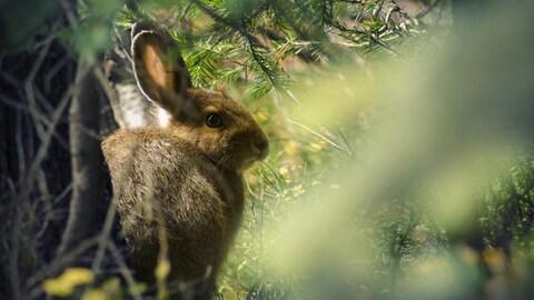 Un lièvre d'Amérique accroupi au pied d'un arbre, entouré d'épinettes.