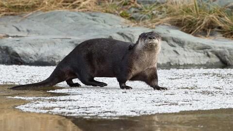 Une loutre mâle marche sur un lac à moitié gelé, fixant la caméra.
